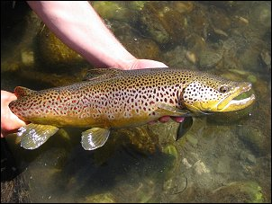 A large spring season brown trout