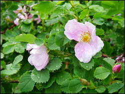 Wild roses on the banks of the Crowsnest