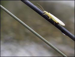 yellow-sally-stonefly.jpg